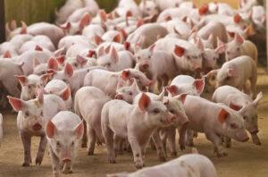 Fravænnede grise på gang